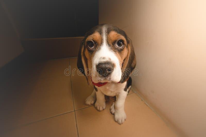 Sobrecarga del Cuteness - perrito del beagle que mira la cámara imagen de archivo