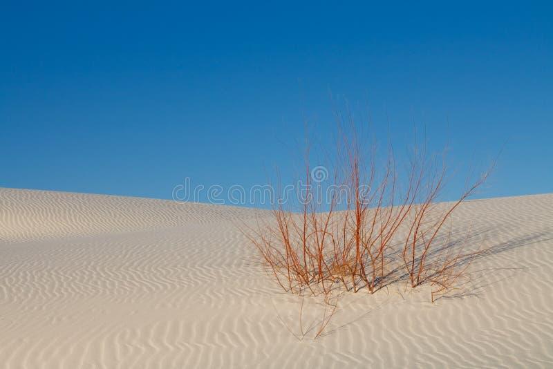 Sobrevivência - planta solitária na duna de areia branca imagens de stock