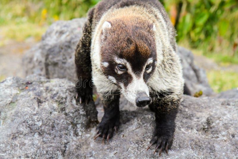 Sociable animal. Coati animal near Irazu volcano in Costa Rica royalty free stock photo