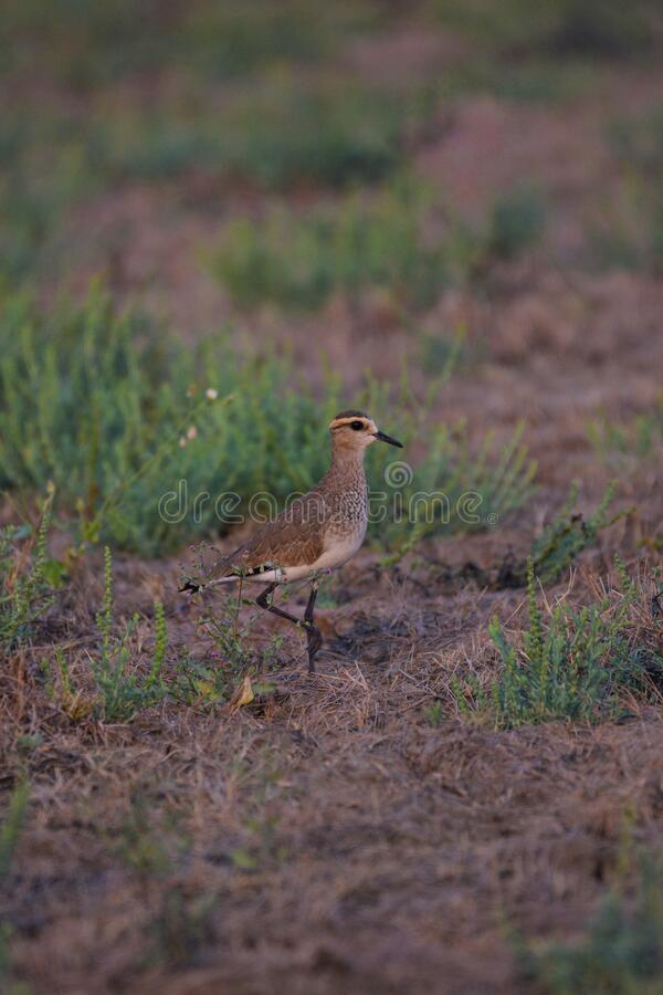 Sociable Lapwing an critically endangered species royalty free stock photo