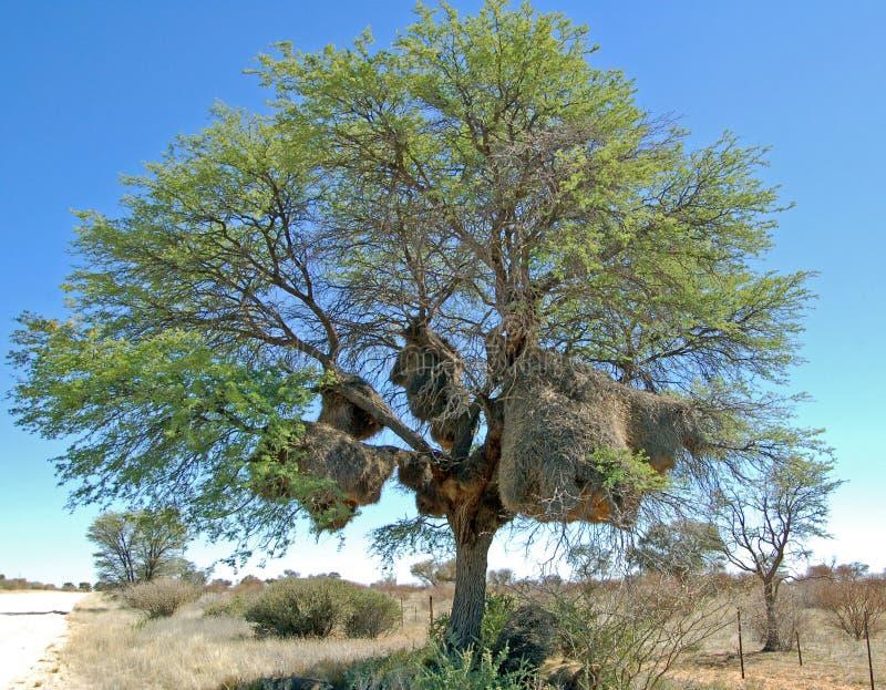 Sociable Weaver Nest. The massive communal nest of the Sociable Weaver bird in an Acacia tree in the Kalahari Desert, Botswana stock photos