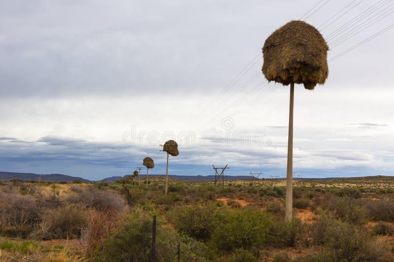 Sociable Weaver nests on telephone poles stock photos