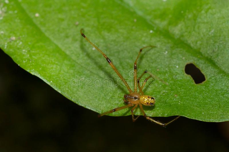 Social Cobweb Weaver - Theridion images stock