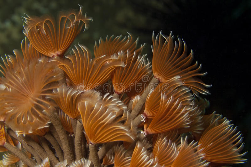 Social feather duster. (Bispira brunnea) extended into the surrent feeding stock images