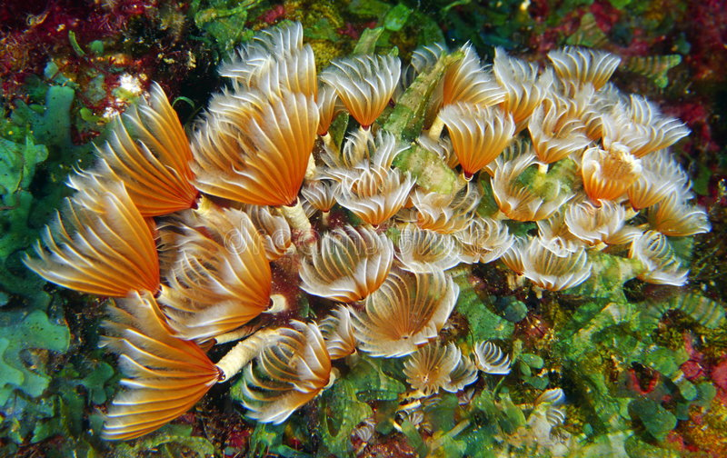 Social feather duster. Worm on reef royalty free stock images