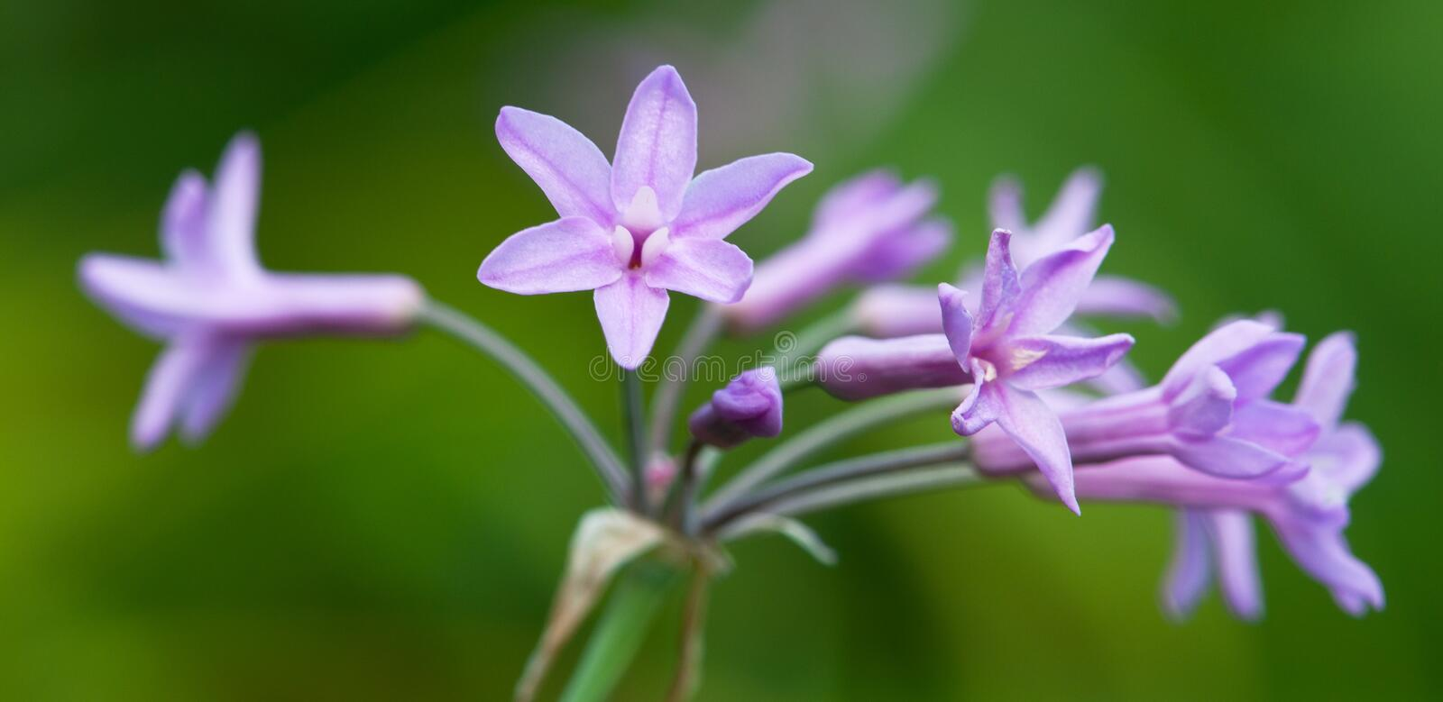 Download Society Garlic Flower stock photo. Image of bloom, violet - 16246348
