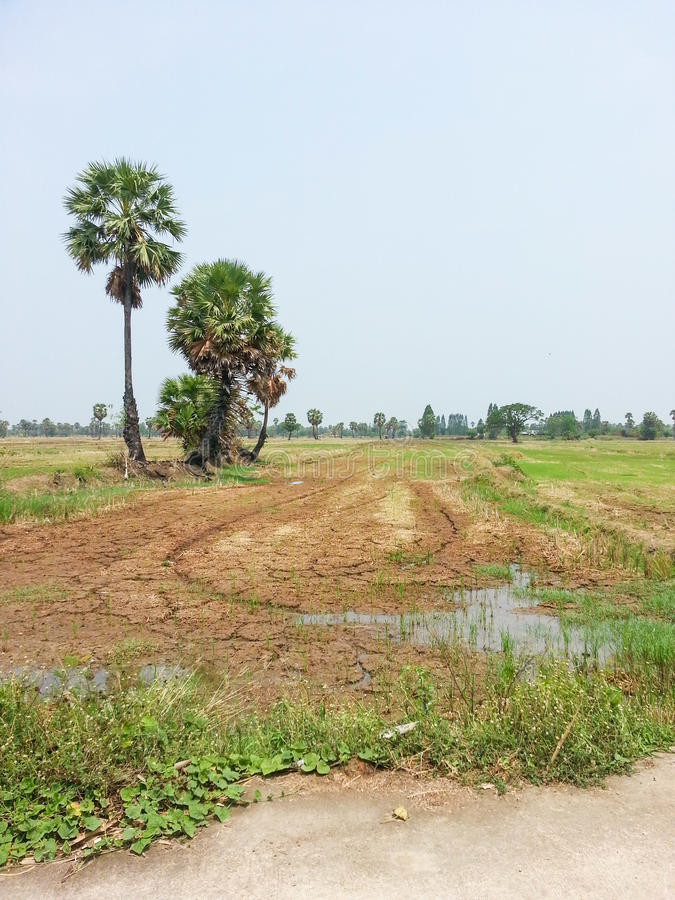 Socker gömma i handflatan och risfält royaltyfri foto