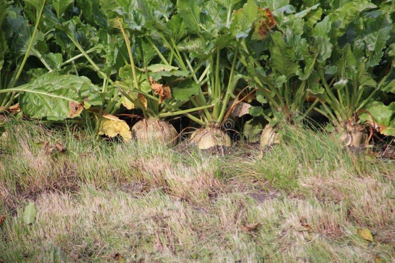 Sockerbetor, innan att skörda dem från fältet i Moerkapelle, Nederländerna arkivfoto