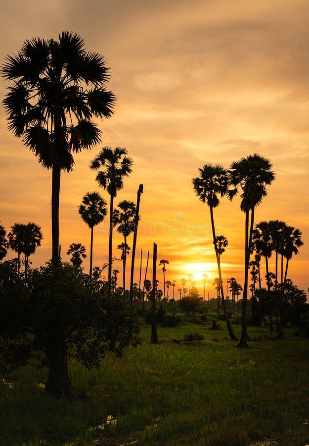 Sockerpalmträd i risfält arkivbild