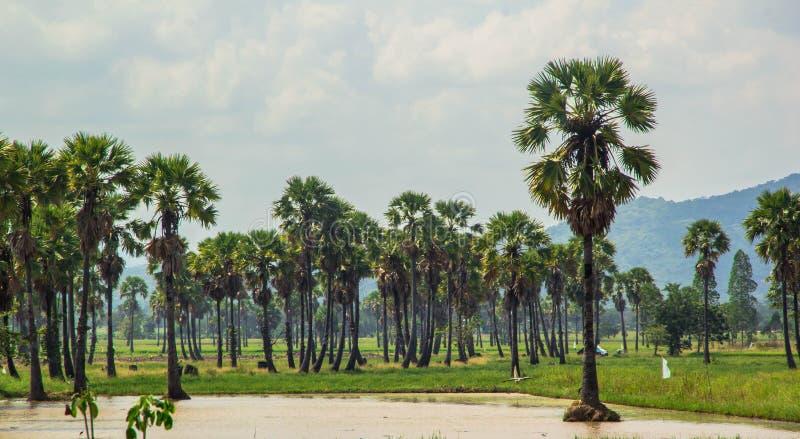 Sockerpalmträd och risfält royaltyfri fotografi