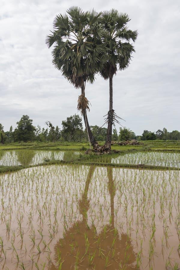 Sockerpalmträd och risfält royaltyfri bild