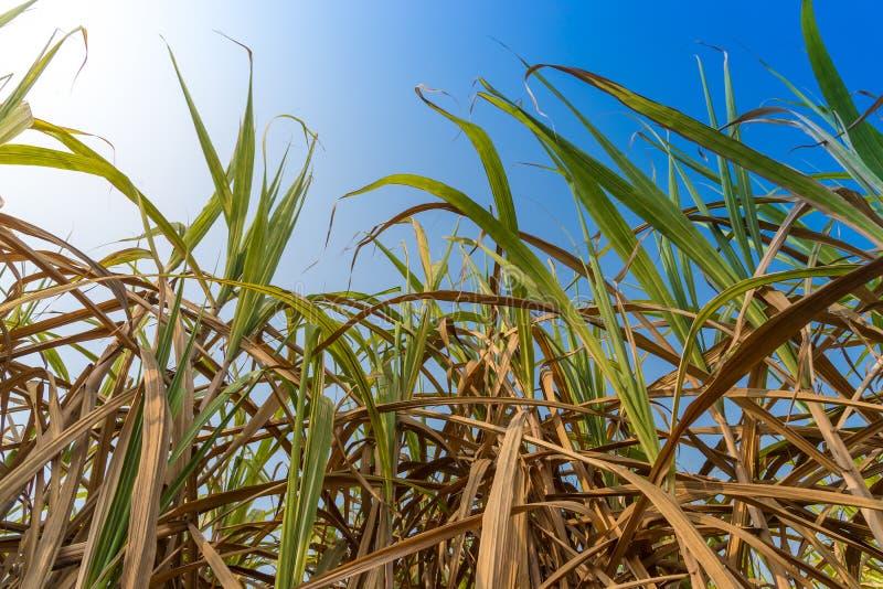 Sockerrör med ljus av solen royaltyfri bild