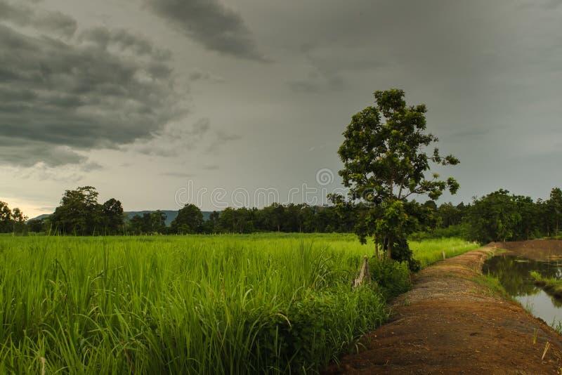 Sockerrörfält royaltyfria foton