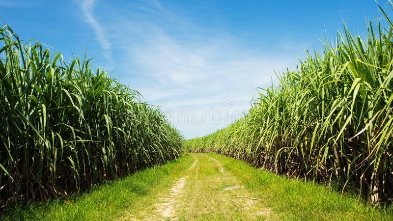 Sockerrörfält och väg med det vita molnet arkivbilder