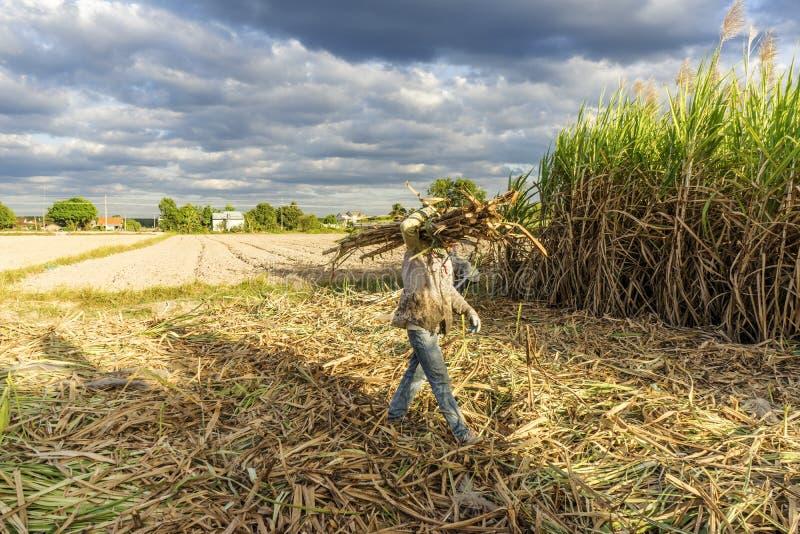 Sockerrörfält, Tay Ninh landskap, Vietnam royaltyfria bilder