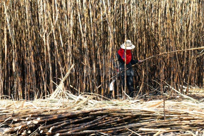 Sockerrörkolonibrännskadan och arbetaren, sockerrörkolonier brukar, arbetare klipper sockerrottingen, sockerrörjordbruk royaltyfria bilder