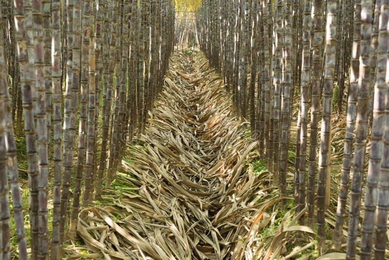 Sockerrörväxter royaltyfria foton