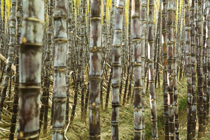 Sockerrörväxter arkivfoto