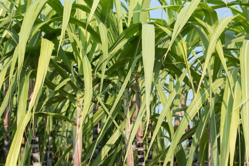 Sockerrörväxter växer royaltyfria bilder