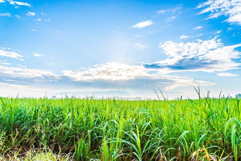 Sockerrörväxter växer i fält royaltyfria bilder