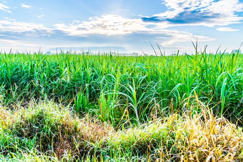 Sockerrörväxter växer i fält royaltyfri bild