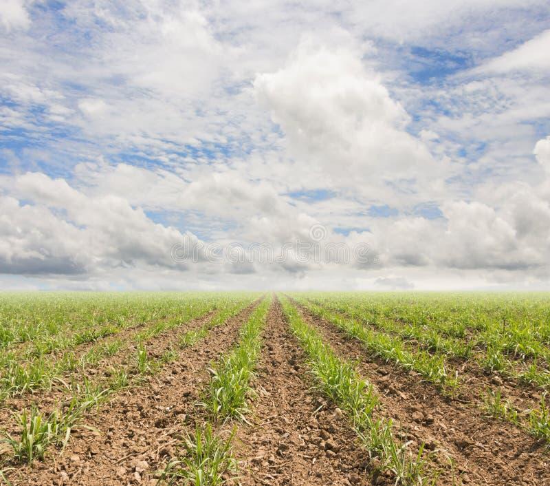 Sockerrörväxter växer i fält och himmel arkivfoto