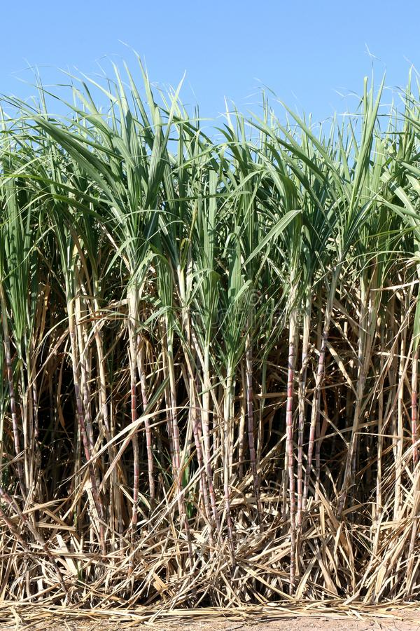 Sockerrörväxter växer i fältet, lantgården för trädet för kolonisockerrottingen, bakgrund av sockerrörfältet fotografering för bildbyråer