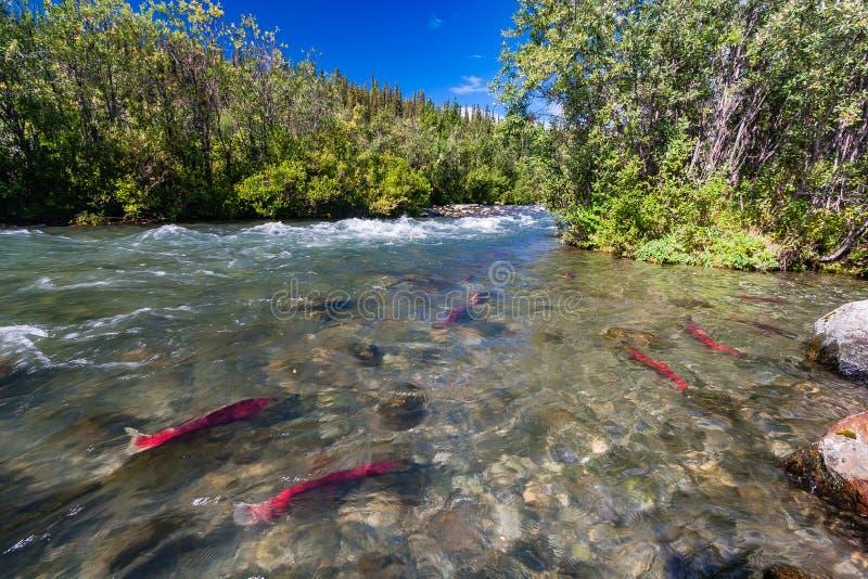 Sockeye salmon in the Gulkana River, Alaska stock images