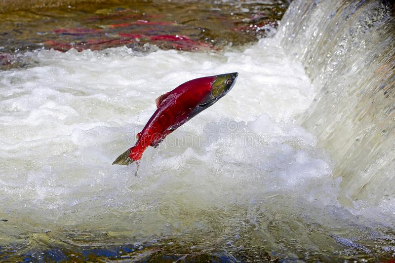 Sockeye Salmon jumping. Sockeye Salmon leaping over waterfall on migration to spawning grounds royalty free stock images