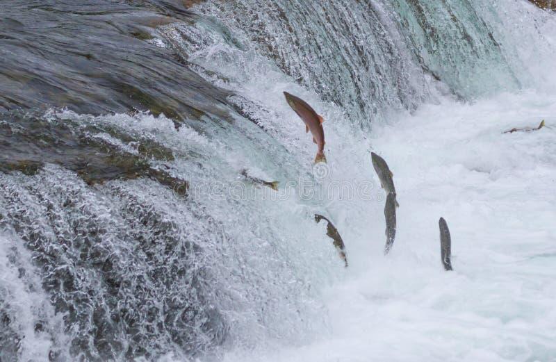 Sockeye Salmon Jumping Up Falls royaltyfri bild