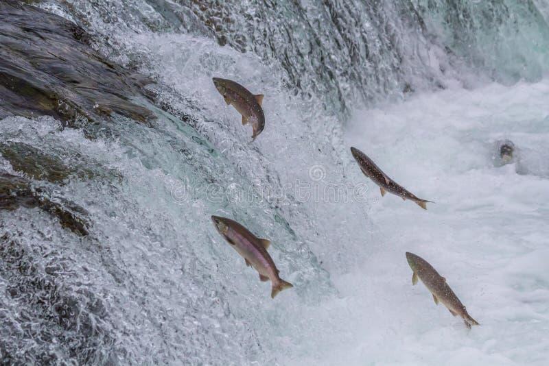 Sockeye Salmon Jumping Up Falls. Sockeye salmon jumping up Brooks falls during the annual migration at Katmai National Park, Alaska