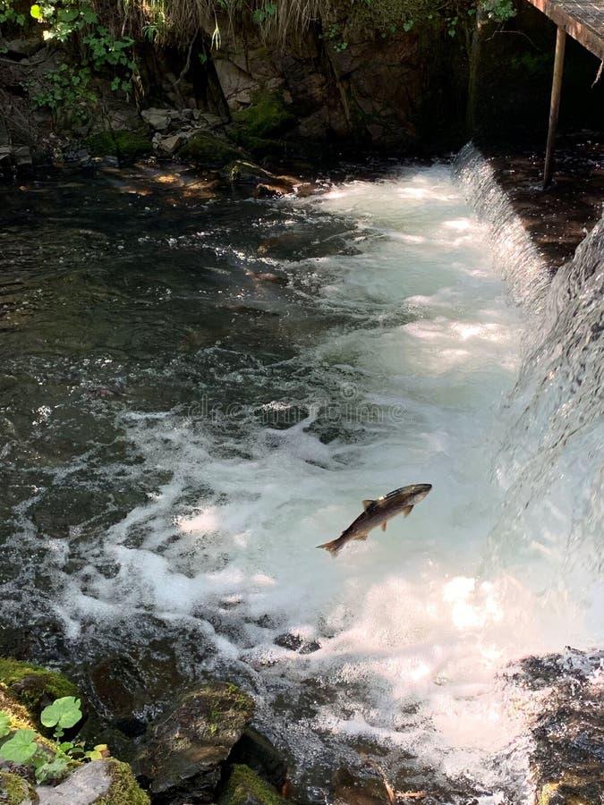 Sockeye salmon jumping up a waterfall royalty free stock image