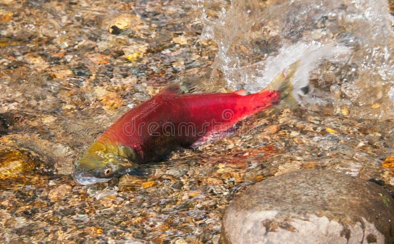 Sockeye Salmon spawning, British Columbia, Canada. Sockeye Salmon swimming upstream to spawning grounds, British Columbia, Canada stock photos