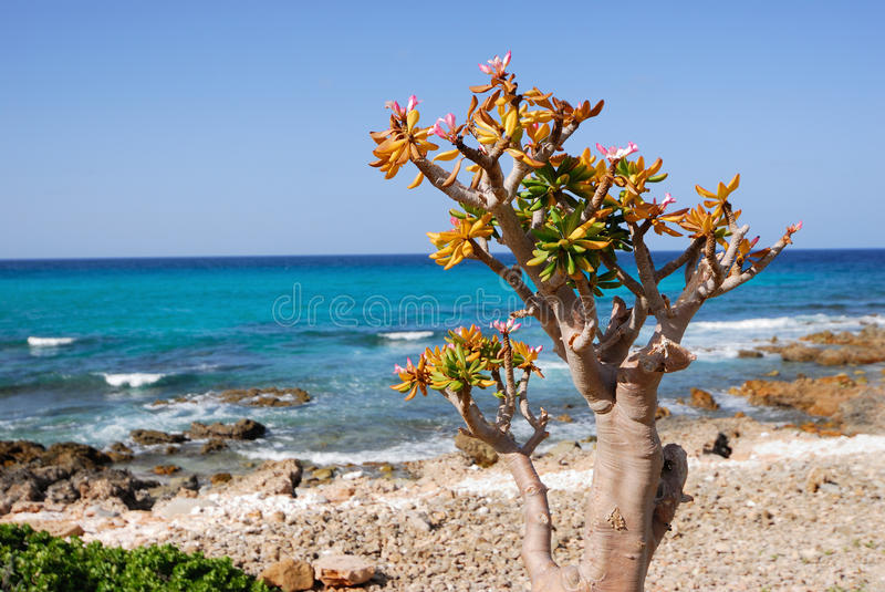 Socotra endemics stock photography