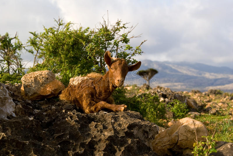 Socotra Goat royalty free stock photography