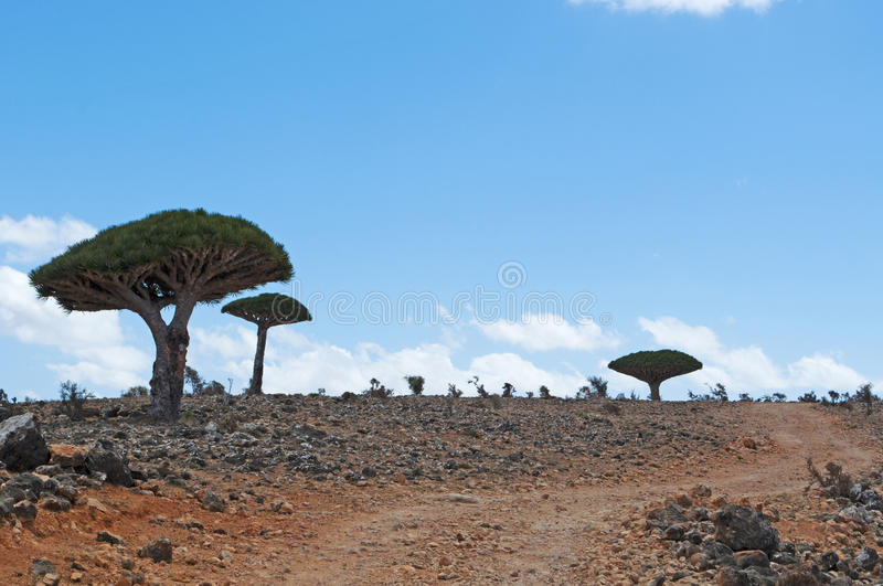 Socotra, island, Indian Ocean, Yemen, Middle East. Yemen, 07/02/2013: the Dragon Blood trees forest in the canyon of Shibham, protected area of the Dixam Plateau stock image
