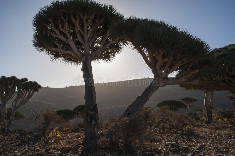 Socotra, island, Indian Ocean, Yemen, Middle East. Yemen, 07/02/2013: the Dragon Blood trees forest in Dirhur, the protected area of Dixam Plateau in the center royalty free stock photo
