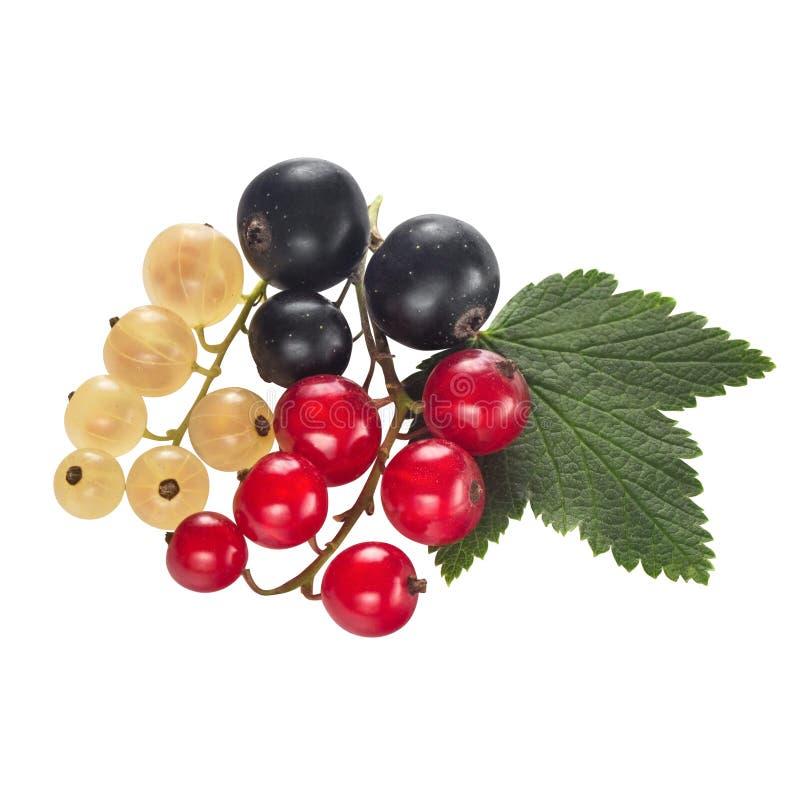 Soczyste jagody czarny, czerwony, biały rodzynek na gałąź z liśćmi, odizolowywającymi na białym tle dla pakować fotografia stock