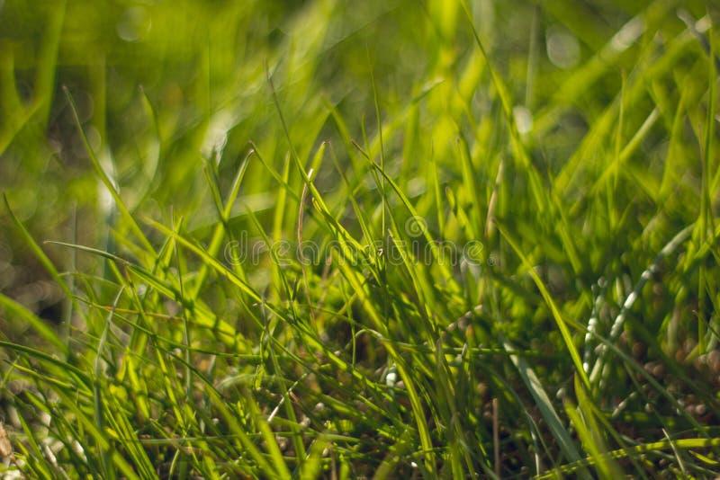 Soczysty i jaskrawy - zielona trawa z bliska Zielonej trawy t?o Tekstura trawa Makro- zdjęcie stock