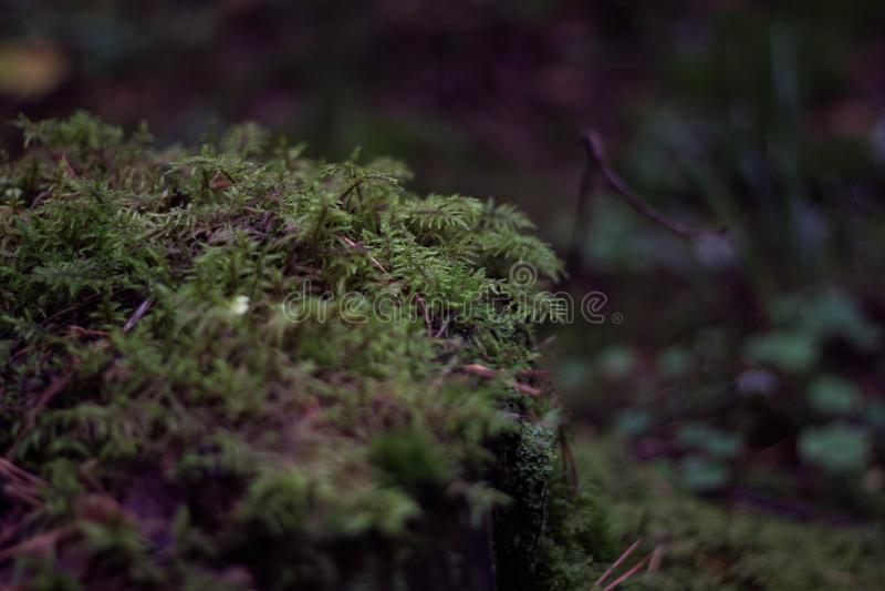 Soczysty zielony mech w lesie w g?r? Bush pi?kny zielony mech Lasowa trawa T?o zdjęcie royalty free