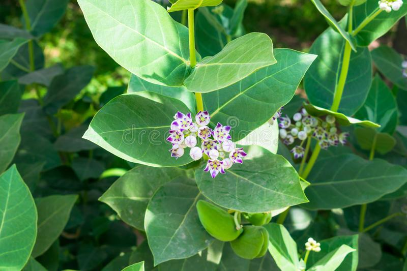 Sodom apple,calotropis gigantea plant with flowers royalty free stock image