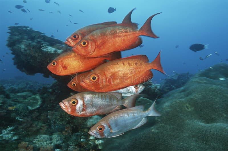 Sodwana海湾印度洋南非学校cresent尾巴大眼鲷(大眼鲷hamrur)在珊瑚礁附近 库存照片