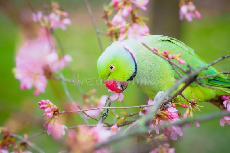 Soe periquito necked que come flores na árvore imagens de stock royalty free
