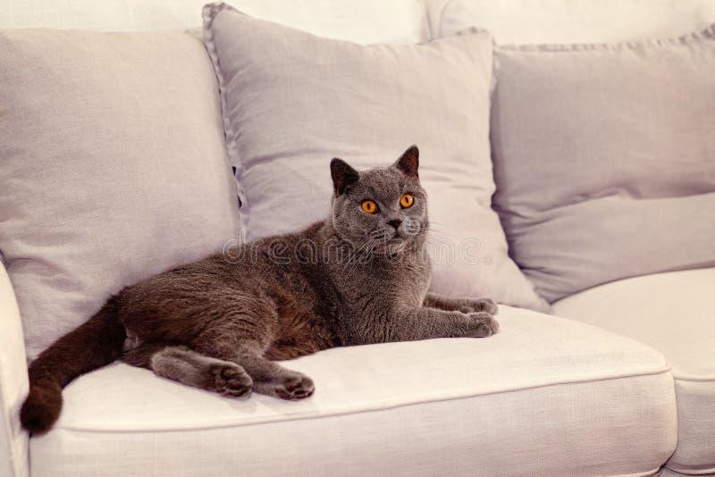 Sofa britannique de Cat Lounging On A de cheveux courts photographie stock libre de droits