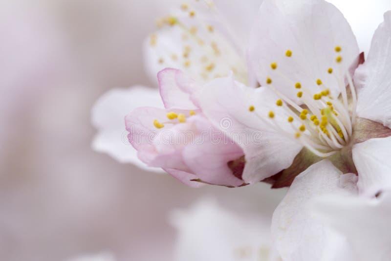 Soft airy japanese sakura in bloom on pink background. Gentle floral romantic elegant artistic image royalty free stock image