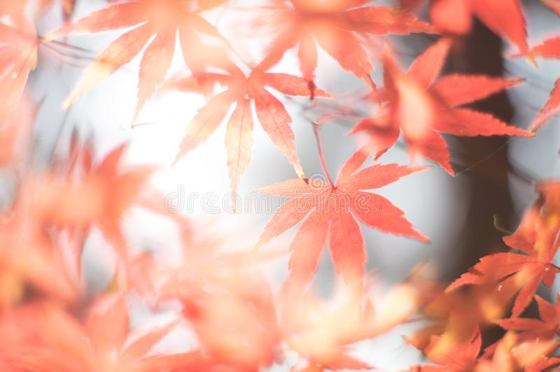 Soft autumnal shot of maple leaves through the light.  stock photos