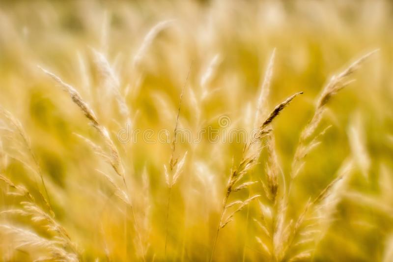 Soft background blur of dry grass in the fall. Closeup of wheat ears background. Blur royalty free stock image