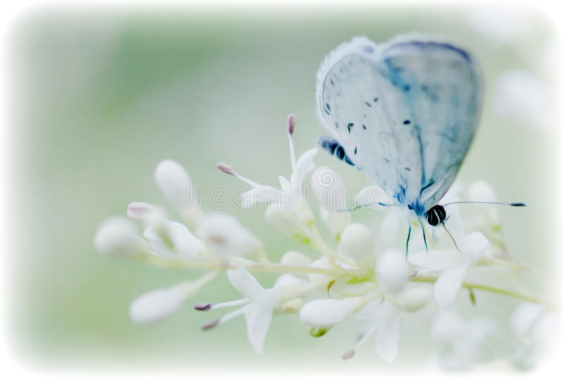Soft blue butterfly on a white flower bloom. Blue butterfly on a soft white flower bloom, a soft dreamy pastel overall look stock images