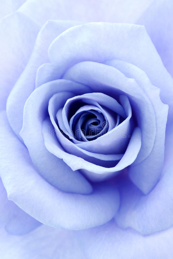 Soft blue rose stock image