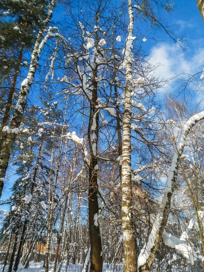 Soft blue sky and tall branchy tree in the festive snow dress on under the morning sunlight. stock photography